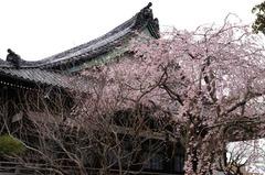120403本覚寺シダレザクラ