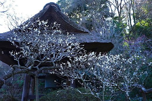 170207東慶寺ウメ2