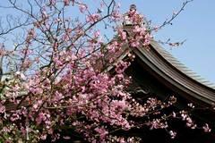 100411本覚寺カイドウ