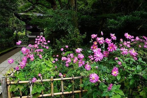 151021円覚寺シュウメイギク2