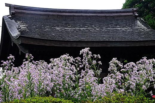 201017海蔵寺シオン2