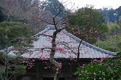 190211海蔵寺ウメ2