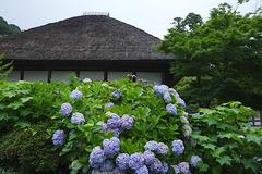 170626円覚寺アジサイ1