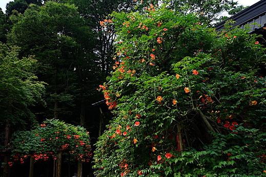 190718妙本寺ノウゼンカズラ2