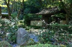 151012瑞泉寺シュウメイギク