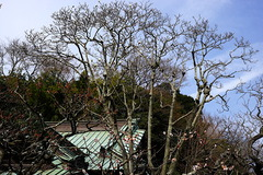 170312東慶寺ハクモクレン