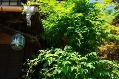 130627海蔵寺ノウゼンカズラ