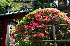 160419常栄寺ツツジ