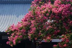 130812本興寺サルスベリ3