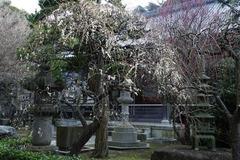 140202常立寺シダレウメ1