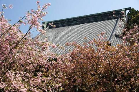 090411妙本寺カイドウ