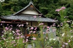 101016円久寺コスモス