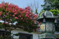 130812本覚寺サルスベリ3