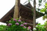 060624円覚寺アジサイ