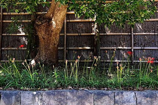 200928鶴岡八幡宮ヒガンバナ1