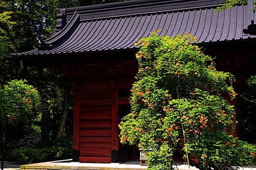 200629妙本寺ノウゼンカズラ