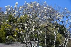 15o325東慶寺ハクモクレン1