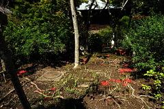 200928浄光明寺ヒガンバナ