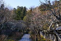 200210東慶寺ウメ