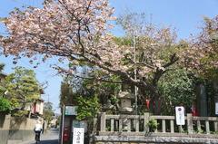 160419八雲神社ヤエザクラ