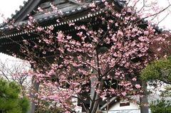 140302本覚寺カワヅザクラ