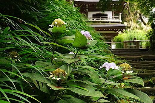 200914浄智寺タマアジサイ2
