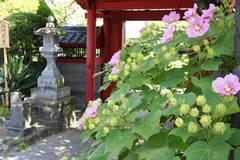 浄泉寺フヨウ