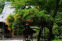 160706妙本寺ノウゼンカズラ1