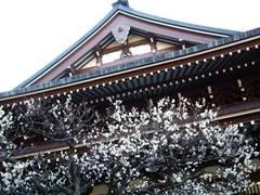 100130円覚寺ウメ2