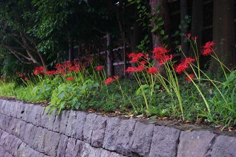 100925鶴岡八幡宮ヒガンバナ