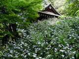 050429妙本寺シャガ
