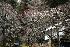 180226東慶寺ウメ1