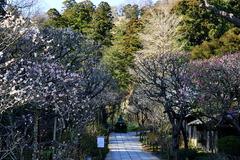 160302東慶寺ウメ1