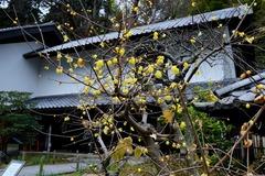 140108東慶寺ロウバイ1