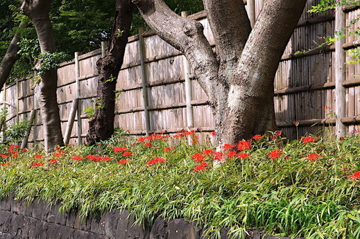 160926鶴岡八幡宮ヒガンバナ1