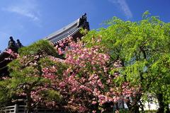 170420本覚寺ヤエザクラ1