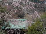 050402光則寺しだれ桜