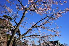 170212長谷寺河津桜