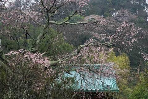 100324光則寺シダレザクラ