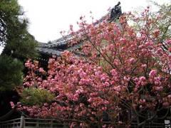 100414本覚寺ヤエザクラ