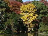 051119平家池黄葉