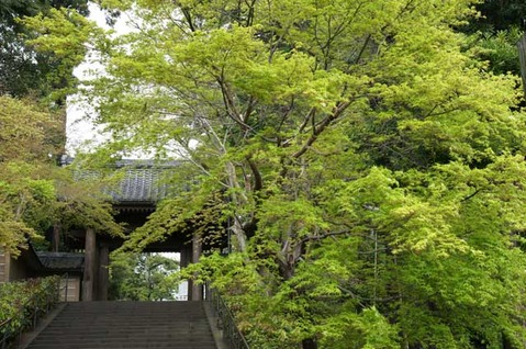 110423円覚寺新緑