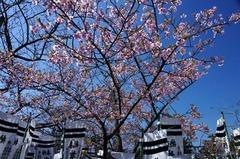 120327八幡宮河津桜