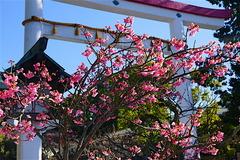 160125鎌倉宮河津桜2