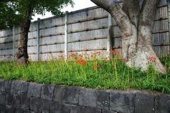 120930鶴岡八幡宮ヒガンバナ
