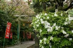 090425八雲神社ツツジ