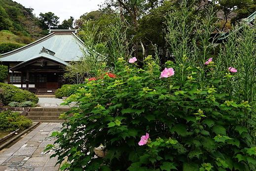 200919海蔵寺フヨウ
