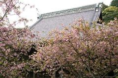120422妙本寺ヤエザクラ