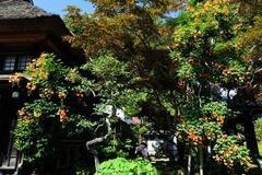 130707海蔵寺ノウゼンカズラ1