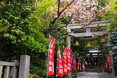 210412八雲神社ヤエザクラ